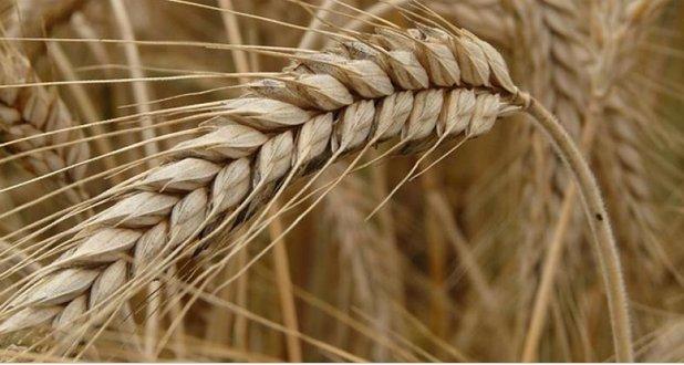 Купить Зерновые культуры Рожь закупка
