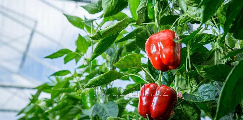 Buy Modern greenhouses of the Dutch production