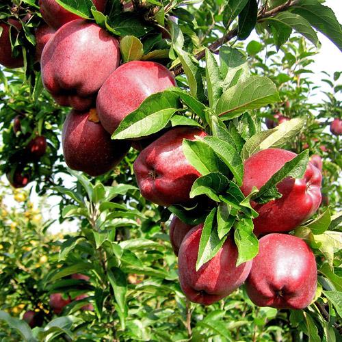 Купить Сорт яблони Скарлет Спур (SCARLET SPUR)