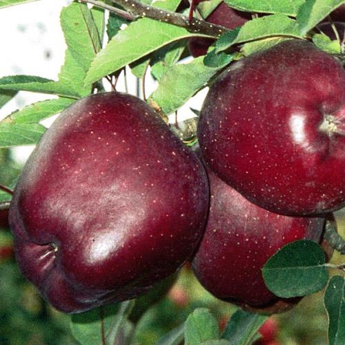 Купить Сорт яблони Жеромин (Jeromine)