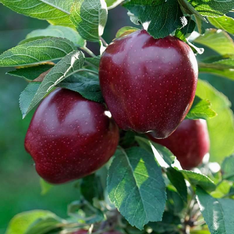 Купить Сорт яблони Ред Чиф (Red Chief)