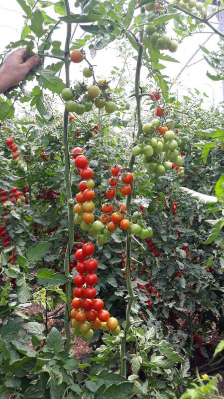 Buy Cherry tomatoes
