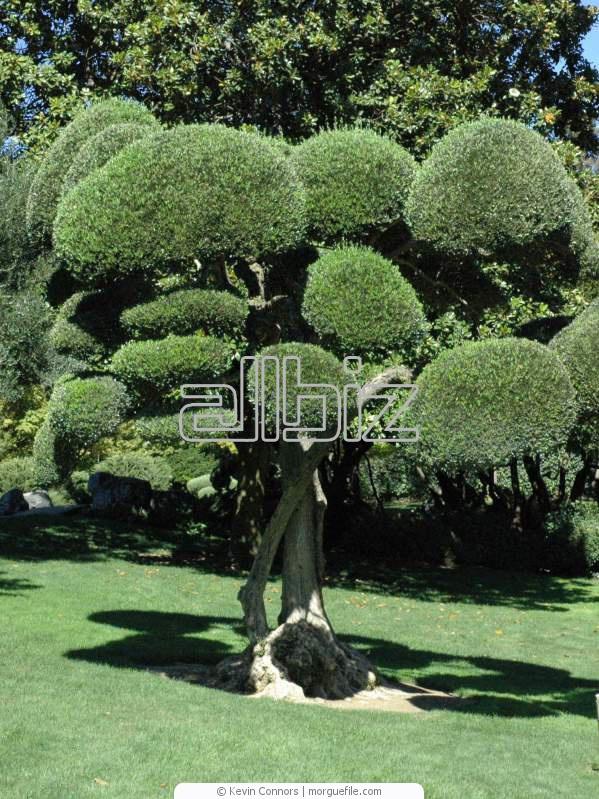 Купить Сельское хозяйство. Саженцы, семена, продукция цветоводства. Саженцы деревьев. Вечнозеленые деревья.