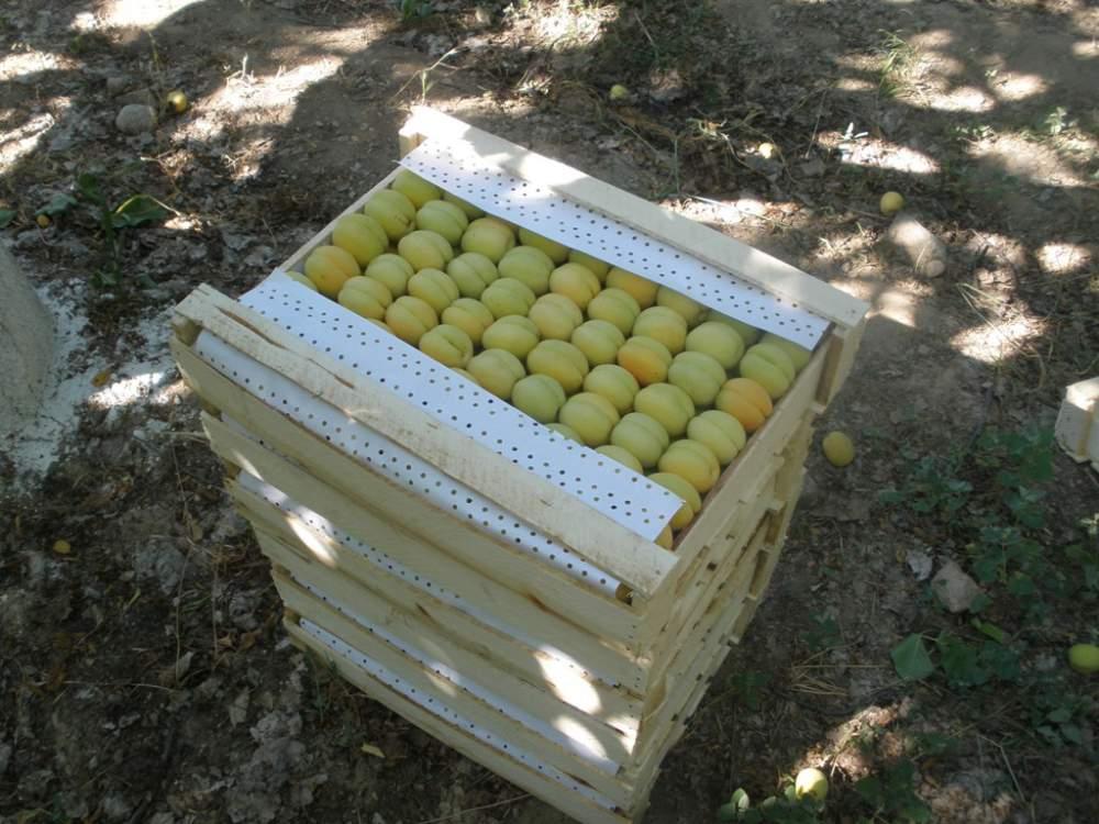 Buy Apricot fresh of Uzbekistan