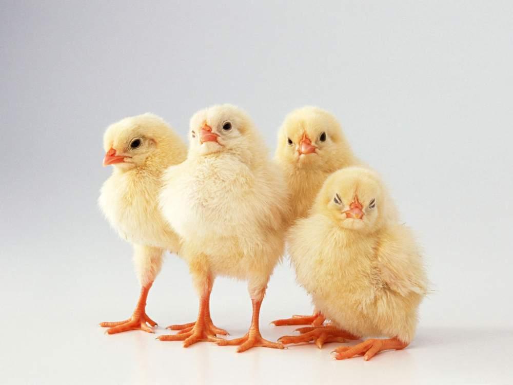В Бурятии начинается строительство бройлерной птицефабрики