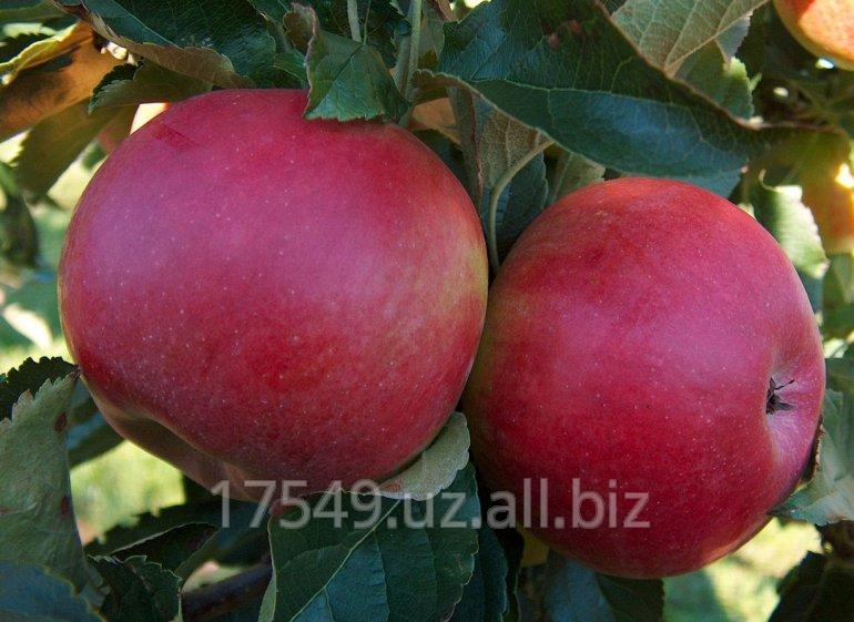 Саженцы яблони Вайнсеп