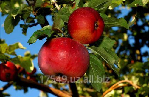 Яблоня Апорт (Обкомский)