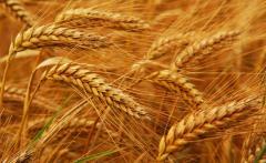 Пшеница зерно 3. 4 класс