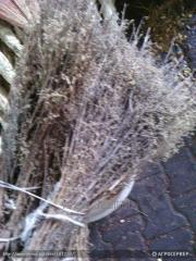 Полынь однолетняя (Artemisia annua L)