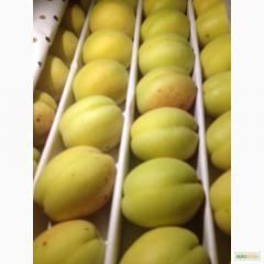 Aprikose Sorten Shallak
