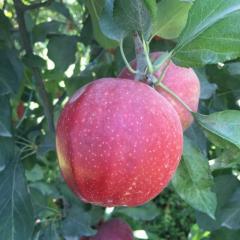 Сорт яблони Букей Гала (Buckeye Gala)