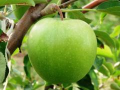 Сорт яблони Гренни Смит (Granny Smith)