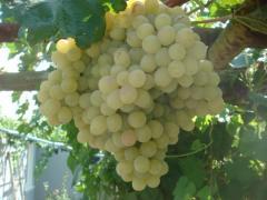 Виноград Тайфи белый