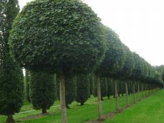 Декоративные растение и деревья