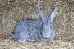 Кролики породы Серый великан.