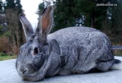 Кролики породы Советские шиншилы