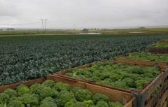 Семена брокколи Parthenon F1