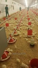 Оборудование для птицеводства -бройлер, несушки