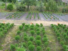 Saplings of ornamental plants