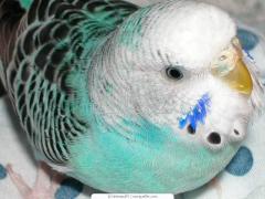 Parrots wavy