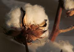 Cotton lin