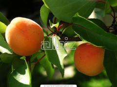 Саженец плодового дерева