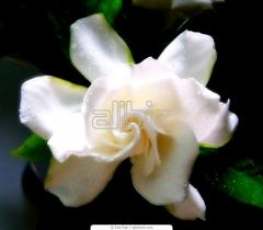 Сеженец цветов