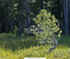 Саженец лесной породы