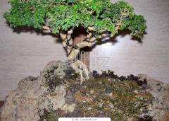 Растения декоративные для озеленения