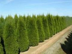 Вечнозеленые деревья