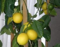 Фрукты цитрусовые