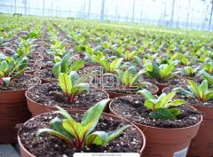 Растения тепличные