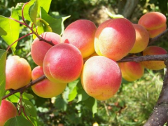 Apricots are fresh