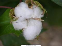 Семена хлопчатника