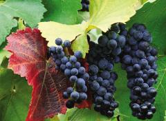 Husaini's grapes decorative