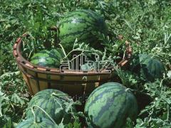 Water-melons are decorative