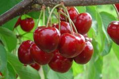 Саженцы вишни декоративной