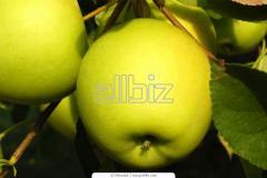 Яблоки Голден
