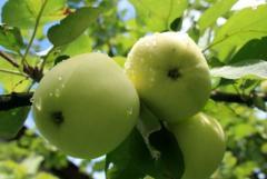Яблоки свежие зеленые