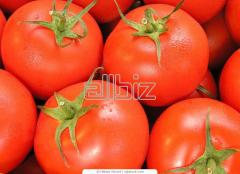 The tomatoes processed