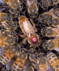 Пчёломатка