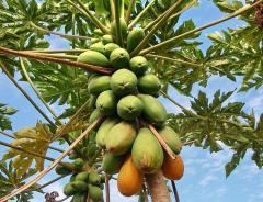 Papaya saplings
