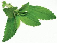Leaf of a stevia