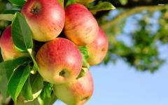 Fruit, apples for export from Uzbekistan
