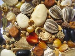 Seeds high-quality melon cultures