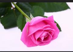 Саженцы эфиромаслечних роз damascene