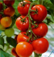Семена томата Jalila F1