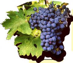 Saperav grape juice