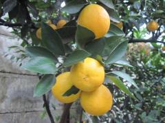 Саженцы, лимона