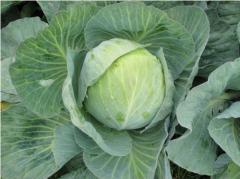 Hạt giống bắp cải
